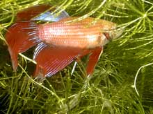 Betta splendens mâle cambodge