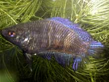 Betta splendens femelle queue double